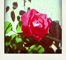 Late Summer Rose by Danielle  La Valle