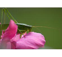 """""""Green Brush Grasshopper"""" Photographic Print"""
