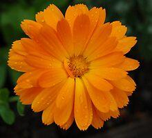Flower in the Rain by iuchiatesoro