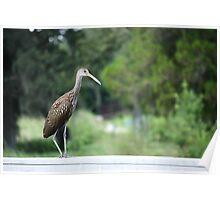 Limpkin - Kapok Park Clearwater Florida Poster