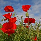 Poppies by RedHillDigital