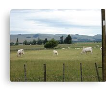 white cows!!!!!!!!!!! Canvas Print