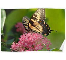 Eastern Tiger Swallowtail (Papilio glaucus) 1 Poster
