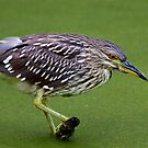 Juvenile Black-crowned Night Heron waits patiently by Jim Cumming