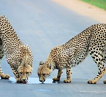 WHEN THIRST TAKES OVER - THE CHEETAH - Acinonyx jabatus by Magaret Meintjes