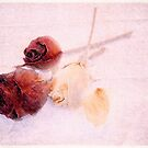 Roses by Alana Ranney