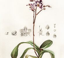 Phalaenopsis Orchid by NearBird