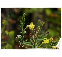 Evening Primrose (Oenothea biennis) Poster