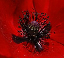 Red Poppy (Papaver rhoeas) 1 by John Caddell