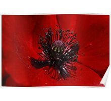 Red Poppy (Papaver rhoeas) 1 Poster