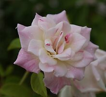 Crem Rose by Rochelle Buckley