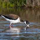 Black-necked Stilt by Leroy Laverman