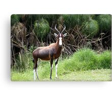 """Blesbok- Woodlands South Africa"" Canvas Print"