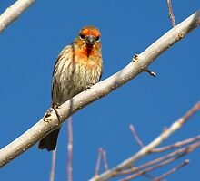 House Finch (Orange Variant) ~ Male by Kimberly Chadwick