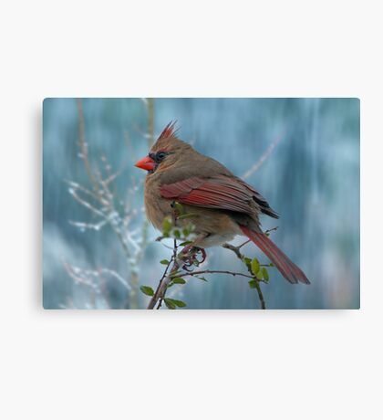 Little Lady Cardinal  Canvas Print