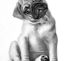 Pug Puppy drawing by John Harding