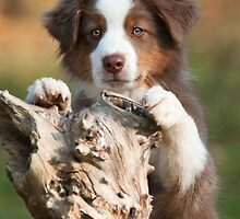Curious Aussie Puppy by Katho Menden