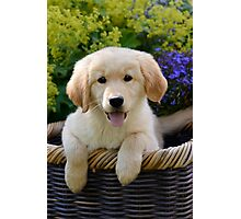 Charming Goldie Puppy Photographic Print