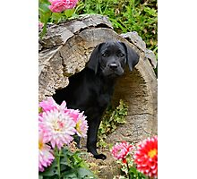 Lab puppy playing hide and seek Photographic Print