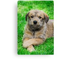 Cool-Puppy, Berger Picard  Canvas Print