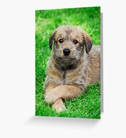 Cool-Puppy, Berger Picard  Greeting Card