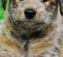 Cool-Puppy, Berger Picard  Sticker