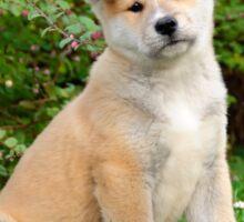 Akita puppy Sticker