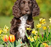 Spaniel puppy amidst spring flowers by Katho Menden