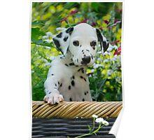 Hey, I`m a Dalmatian puppy Poster