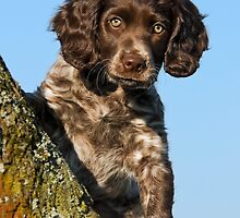 """I`m gorgerous"", German Spaniel puppy by Katho Menden"