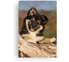 """Puppy-eyed""  Icelandic Sheepdog Canvas Print"