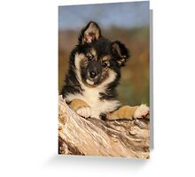 """Puppy-eyed""  Icelandic Sheepdog Greeting Card"