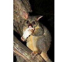 Brush Tailed Possum Photographic Print