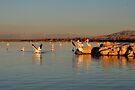 Pelicans in First Light - Salton Sea by Jo Nijenhuis