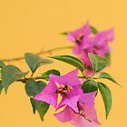 Bougainvillea against a yellow wall by Rachel  Devenish Ford