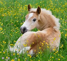Haflinger foal resting amidst buttercup flowers by Katho Menden