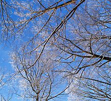 ICY TREES by BCallahan