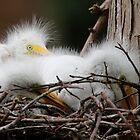 Juvi Egrets by Dennis Cheeseman
