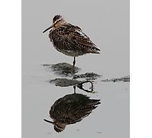 Short Billed Dowitcher Photographic Print