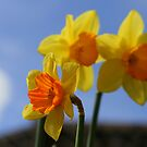 Daffodils by Justine Devereux-Old