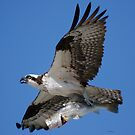 Osprey with Fish by Dennis Cheeseman
