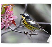 Magnolia Warbler Poster