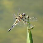 Dragonfly by Factory23