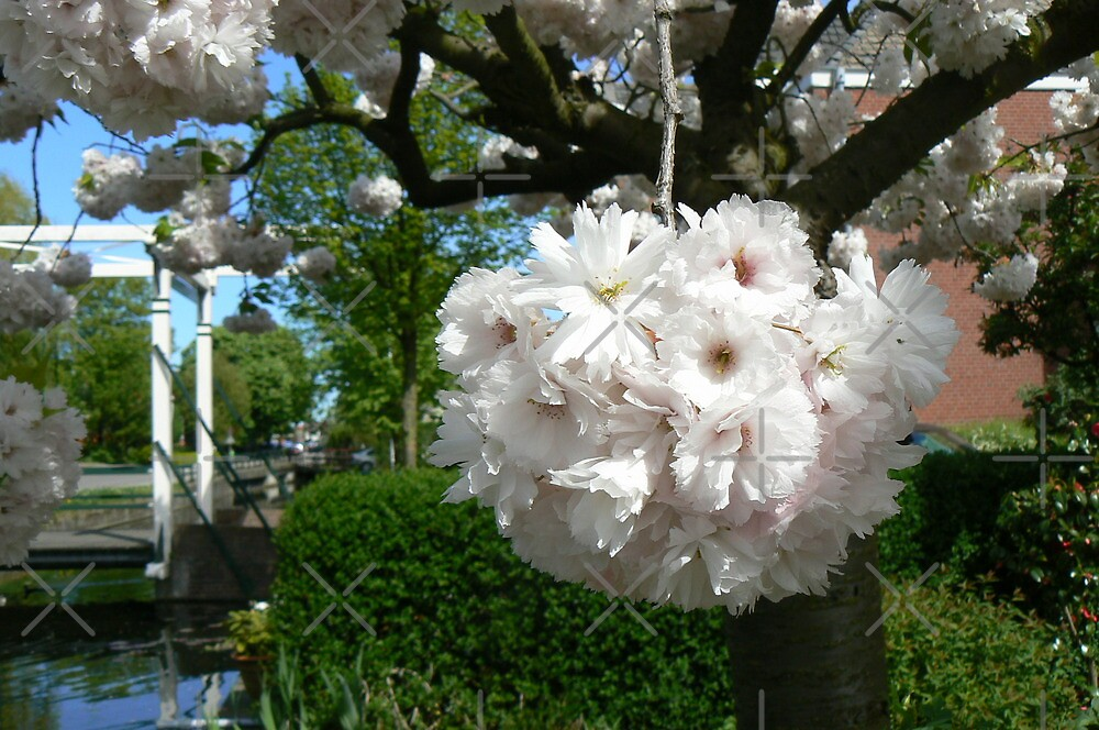 cherry blooming by LisaBeth
