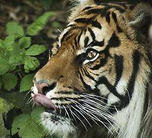 Tiger 02 by George Davidson