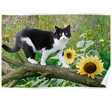 Tuxedo cat and sunflowers Poster