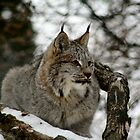Canadian Lynx by Larry Trupp