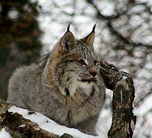 Canadian Lynx by Larry Trupp