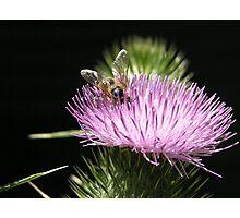 Bee on Thistle Flower, Tumut, Australia. Photographic Print