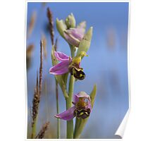 Bee Orchid Poster